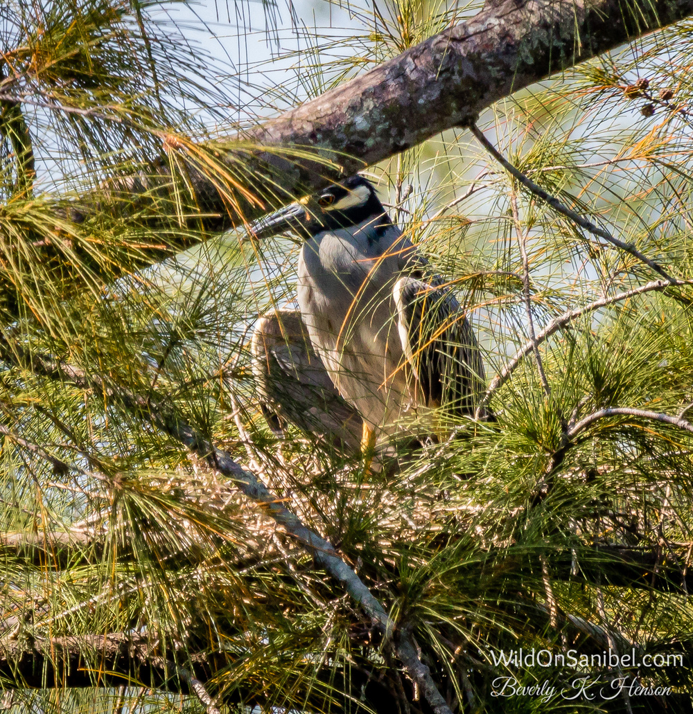 The Yellow-Crowned Night Heron is still on the nest!