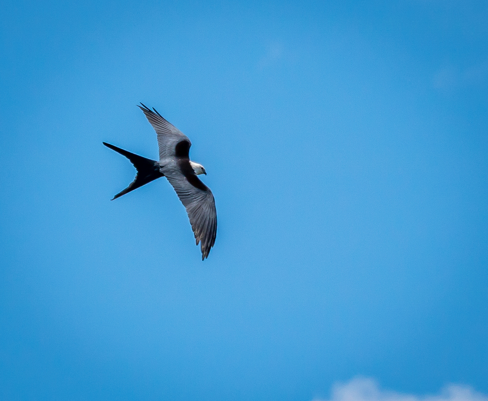 I read that the Swallow-Tailed Kite has a wingspan of 3.7 to 4.5 ft.  I never realized how big they are because they usually fly fairly high in the sky, like this one.  Recently, one flew directly overhead (of course I didn't have my camera) and I got a better look at how big they are!  They are just the coolest birds with the way they glide and swoop around.  Maybe I'll get a photo of one flying lower soon!