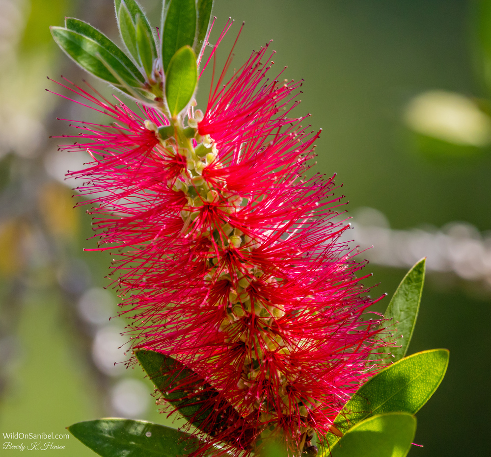 Bottle Brush tree in our yard.