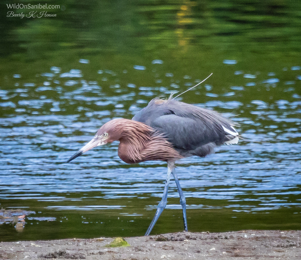 This Reddish Egret was on the hunt for some food.