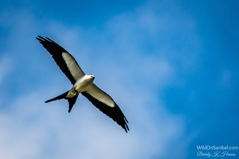 I have seen several of these beautiful Swallow-Tailed Kites flying very low when I don't have a camera with me.  This one is probably closer that the other photos I've actually taken, but still not close enough!  One of these days, I'll get a better pic of one!