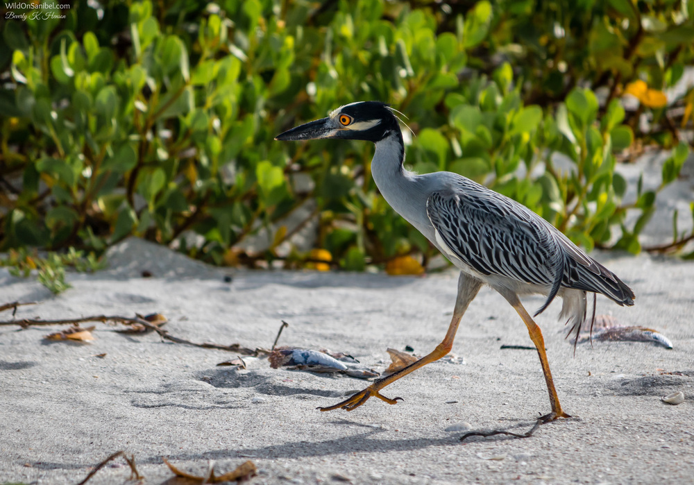 This Yellow-Crowned Night Heron tried to sneak past me, but I was faster than he was!