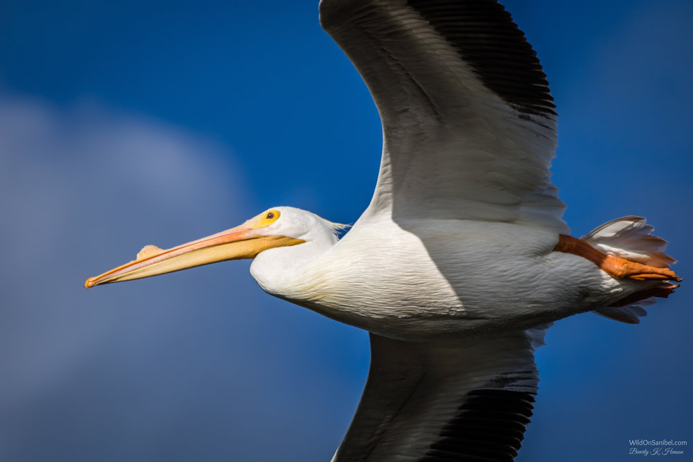 This photo isn't cropped.  The white pelican was almost on top of me!