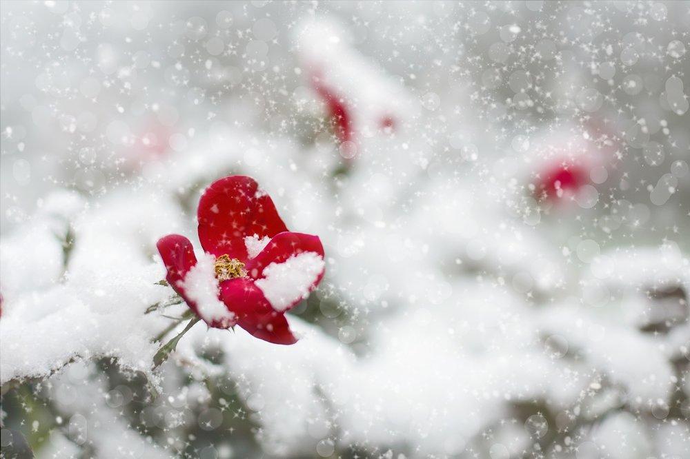 red-rose-1056852_1920.jpg