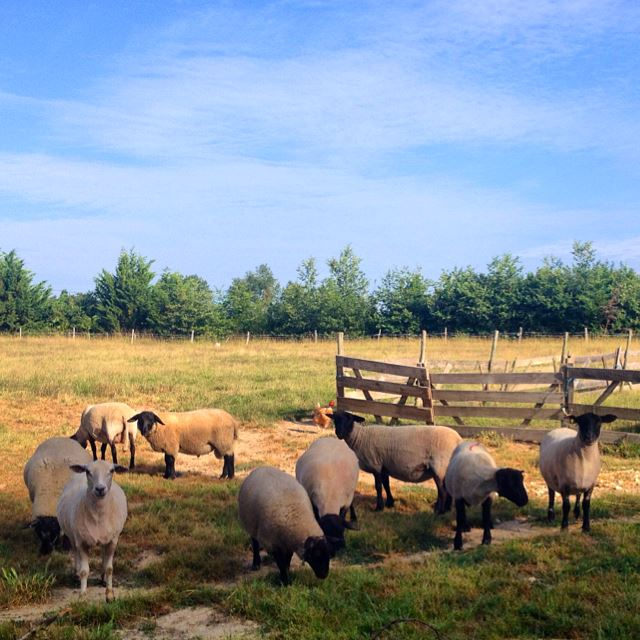 Here's a nice photo of some sheep that I once tended in Courrensan,France. I was in charge of running around and herding them whenever the farm dog needed alone time. Woefully unathletic, I was surprisingly good at this.