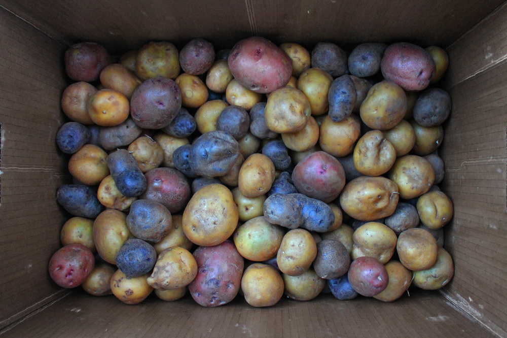 northwest tricolor potatoes chew and taste.jpg