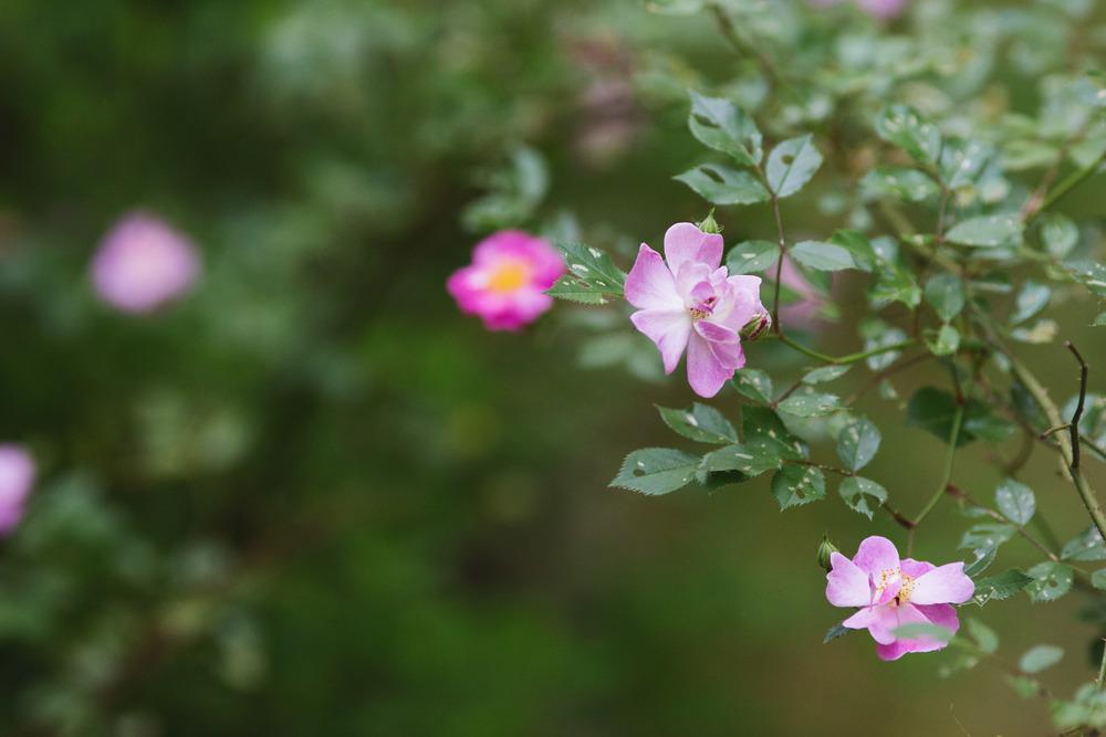 Springtime Roses.