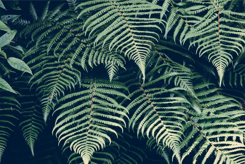 ferns.jpeg