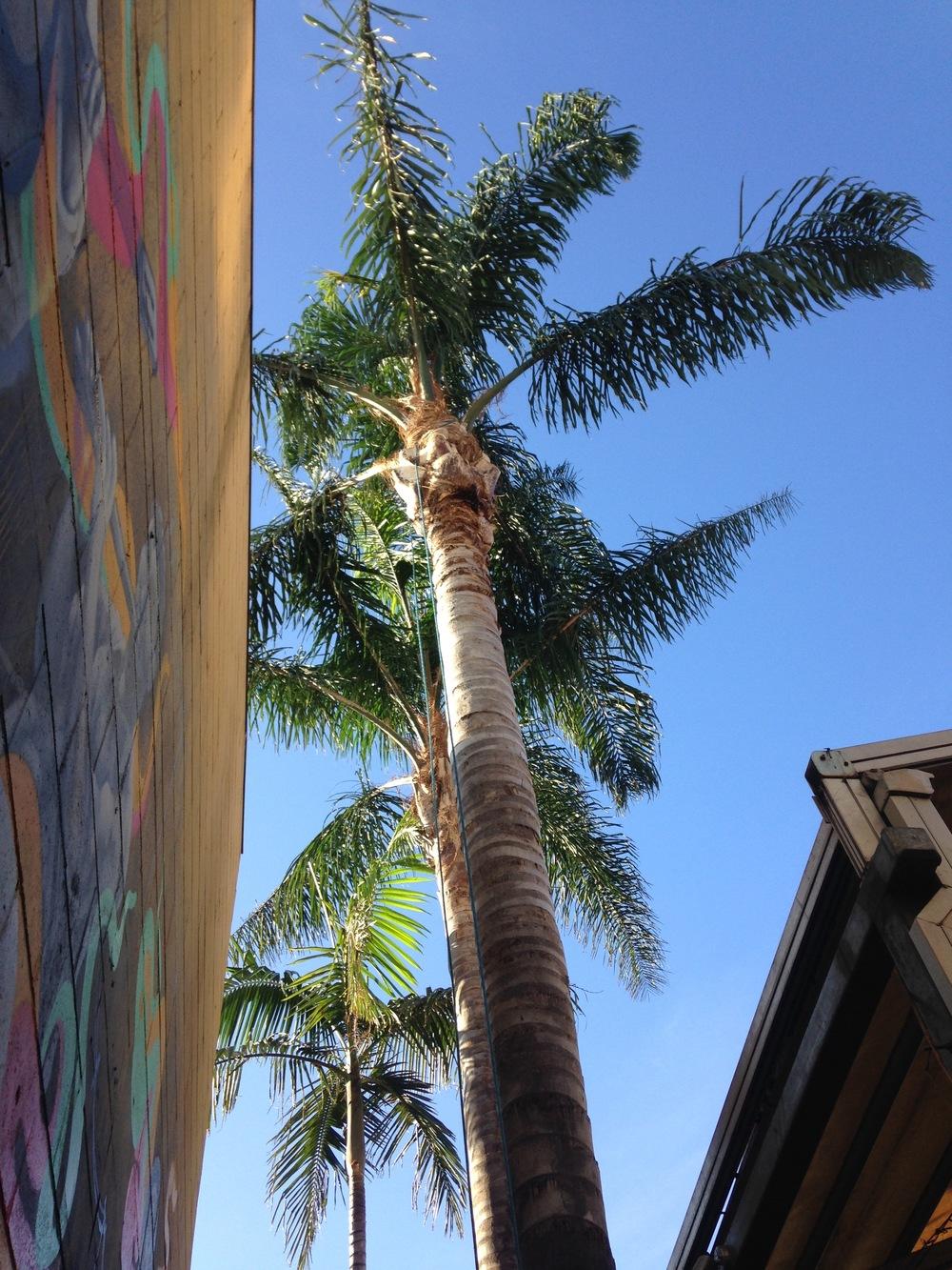Palm Prune