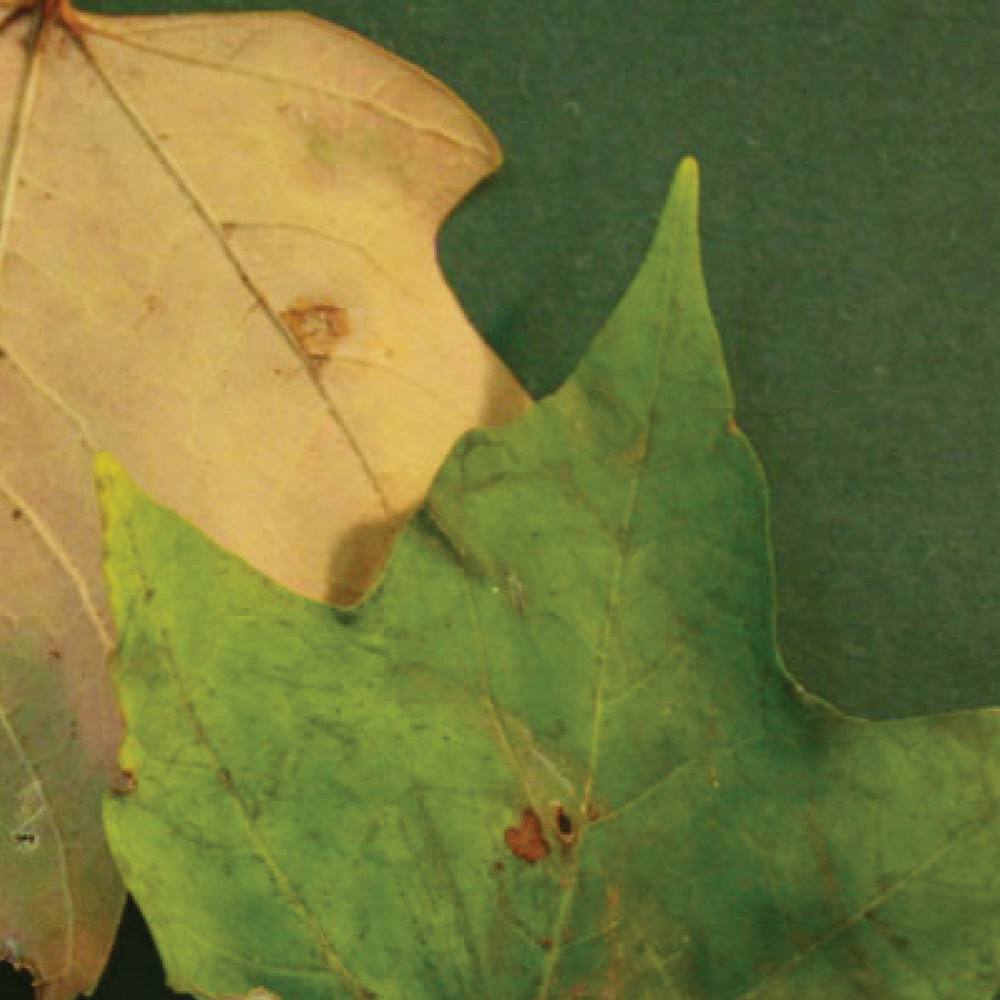 leaves7.png
