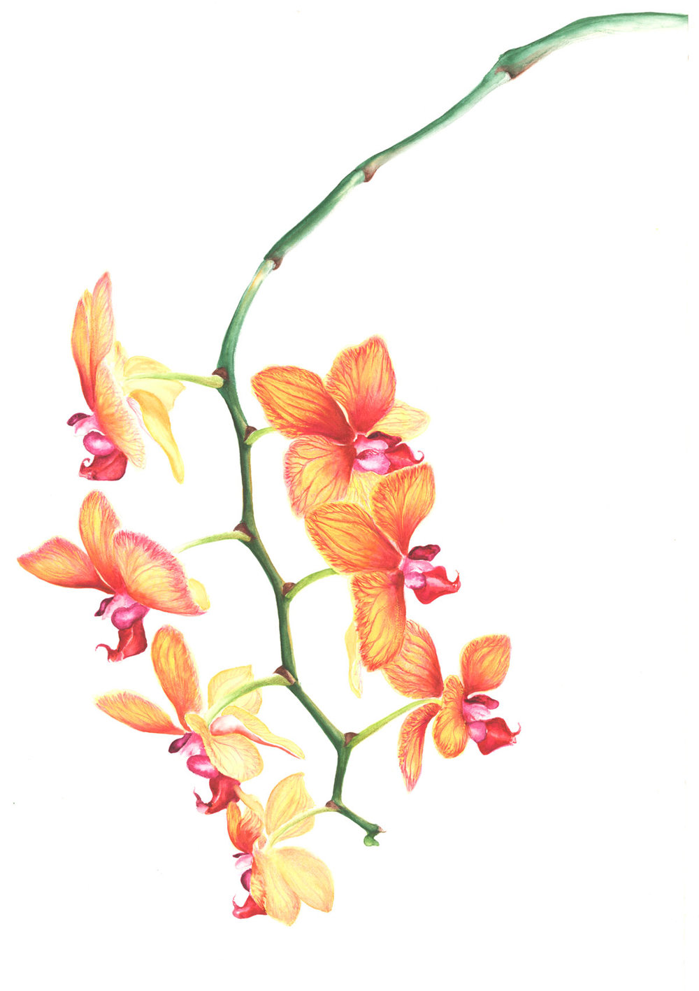 Orchid Watercolor
