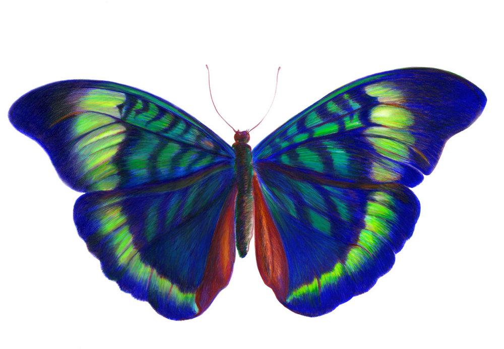 Panacea Butterfly