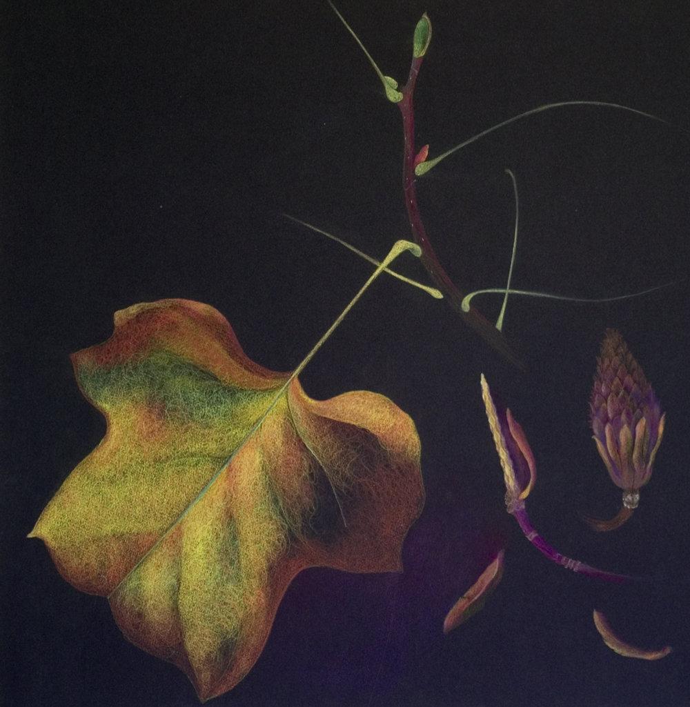 Liriodendron Tulipfera