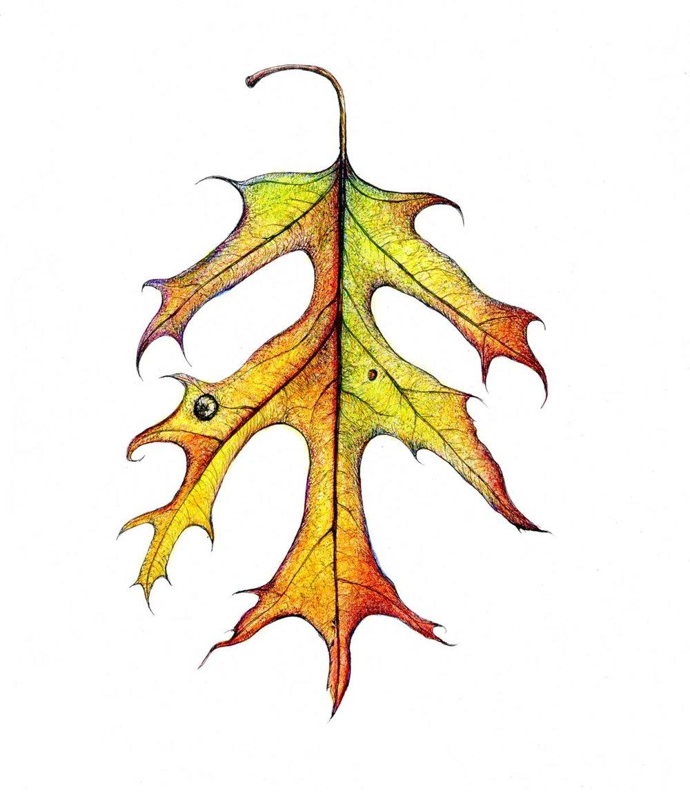Red Oak Leaf Fall Color