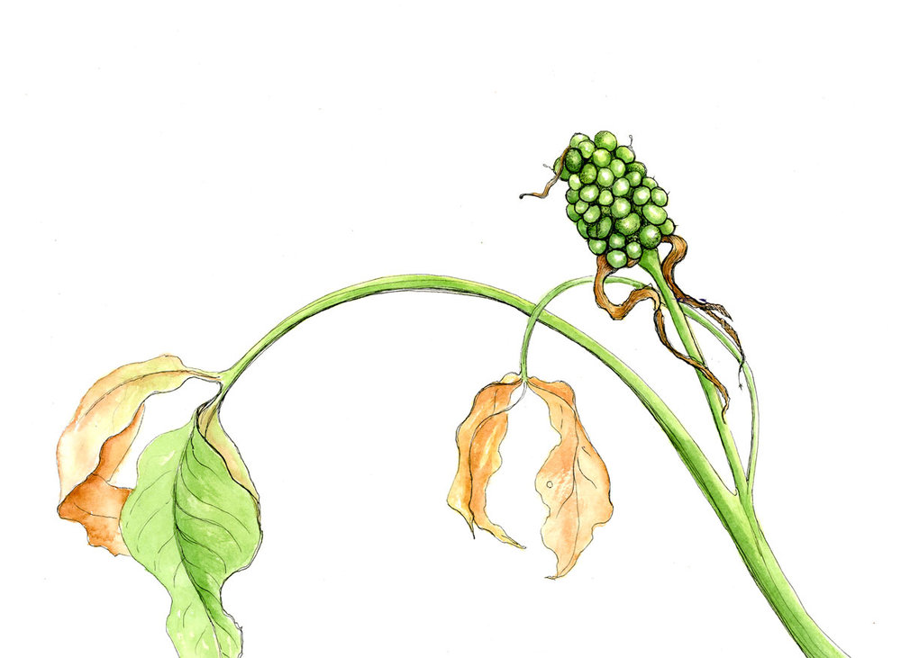 Jack In The Pulpit Early Fruit