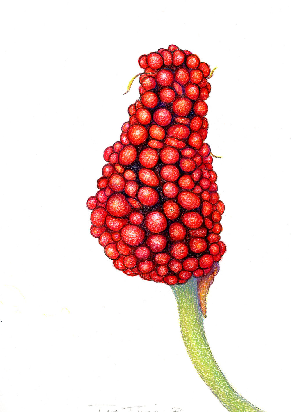Jack In The Pulpit Fruit