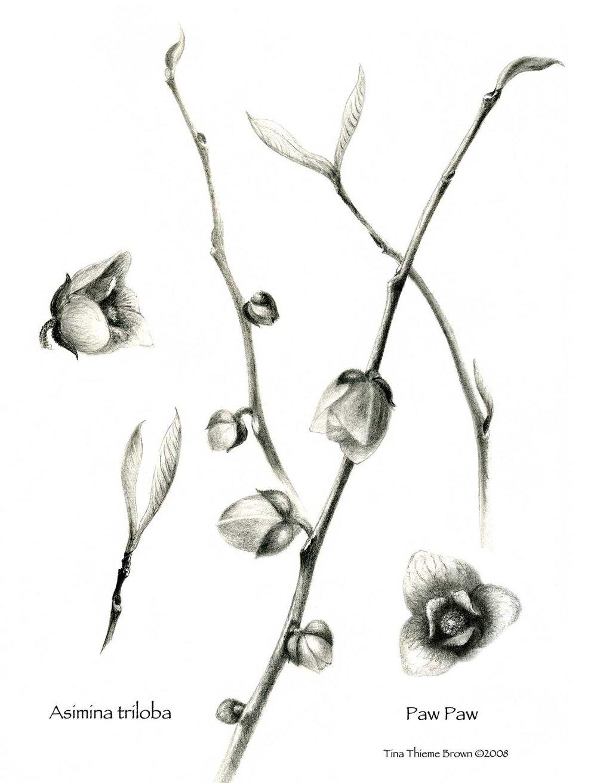 Paw Paw Twig Flower Bud