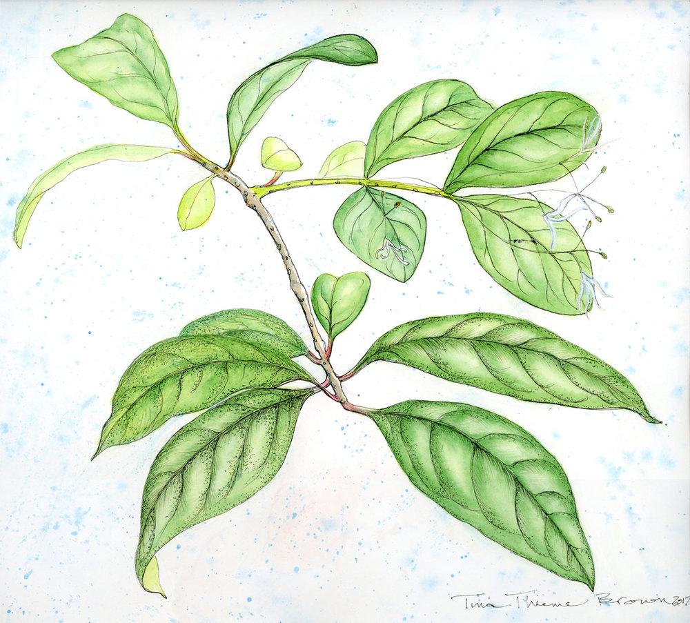 Fringe Tree Leaves