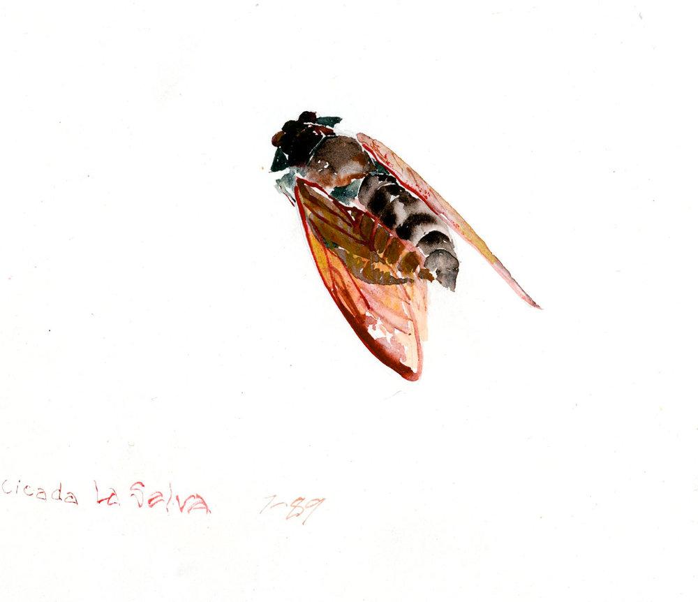 Finca La Selva Cicada