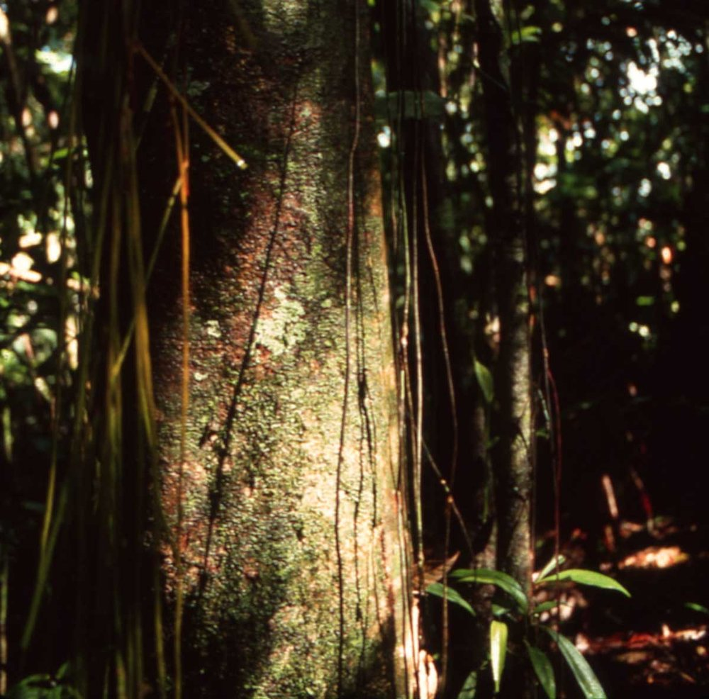 La Selva Tree Vines