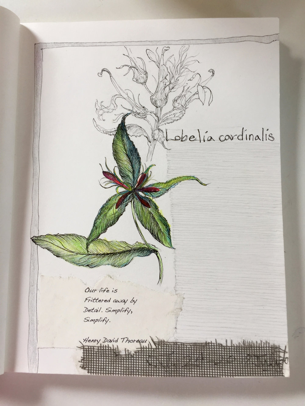 Sitting with Lobelia cardinalis & sketching