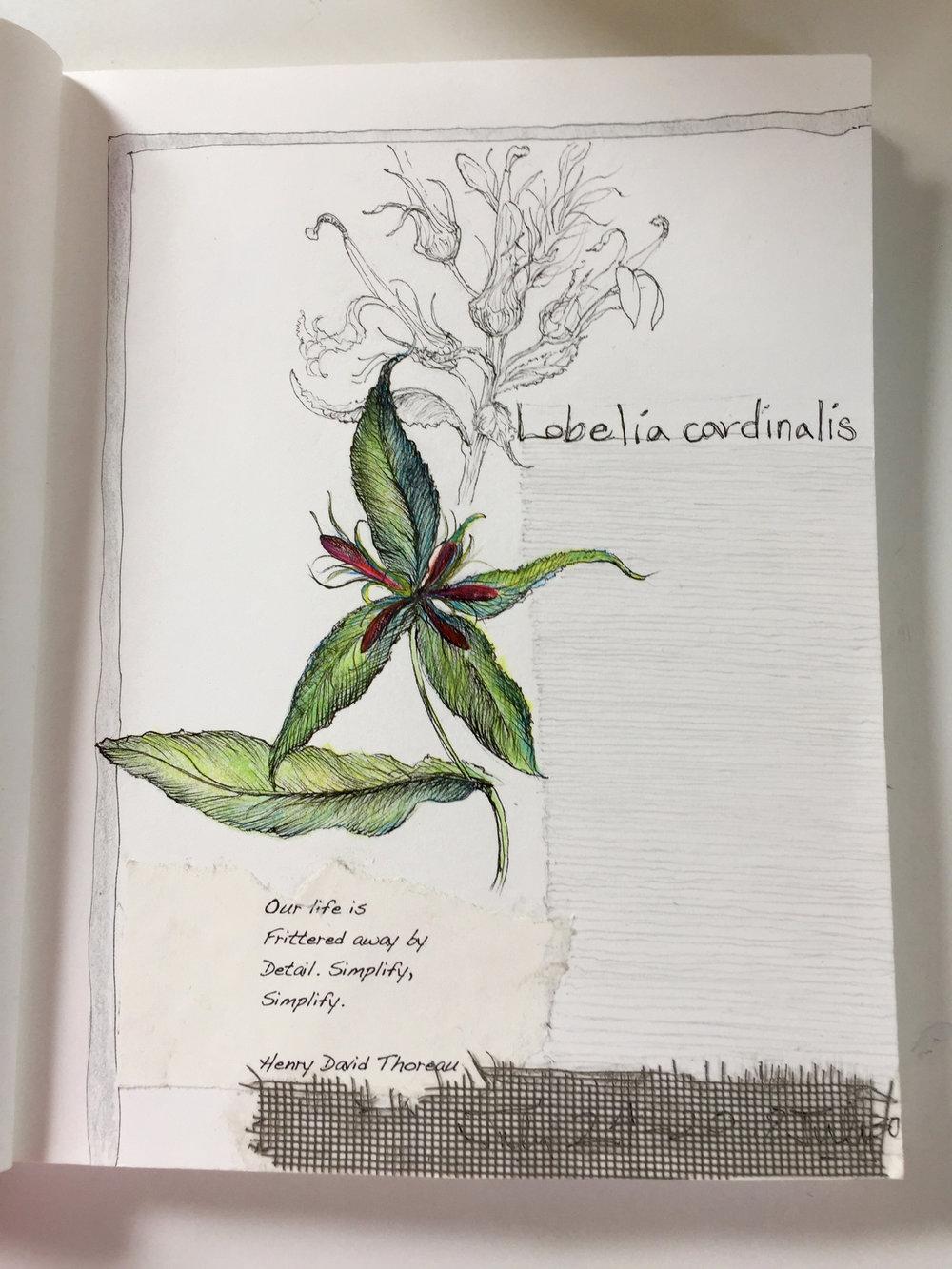 Sitting with Lobelia cardinalis & sketching