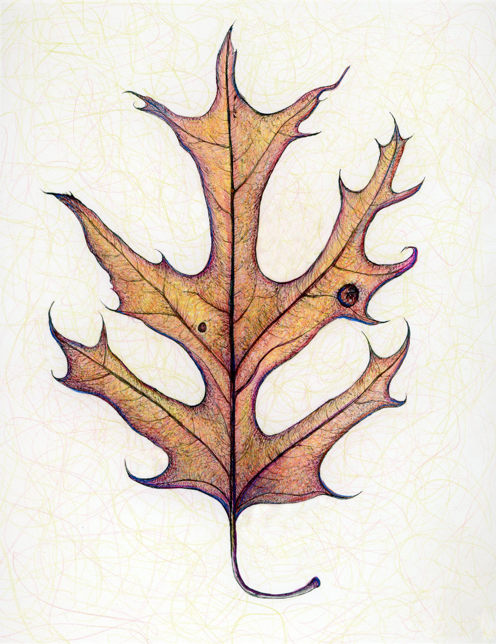 Scarlet Oak Leaf- Fall color
