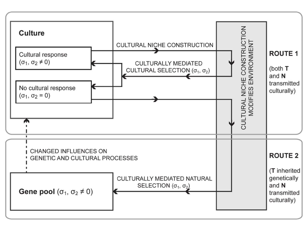Models of niche construction with selection and assortative mating  Schematic of cultural niche construction. Cultural niche construction results in environmental variation, which may produce two distinct forms of feedback. Route 1: a cultural trait modifies selection pressures, which can induce further cultural change. Route 2: gene-culture coevolution, where a cultural trait changes selection pressures, causes population level genetic changes in response. Evolutionary outcomes from both route 1 and route 2 depend on the frequency of T (cultural or genetic) and N (cultural) traits in the population and the selection pressures they generate, here represented by si.