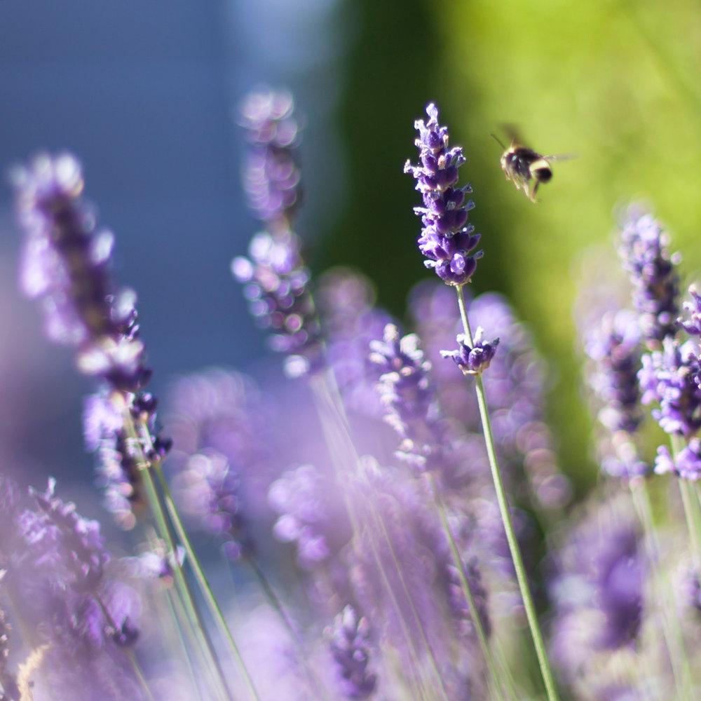 lavender-3-web.jpg