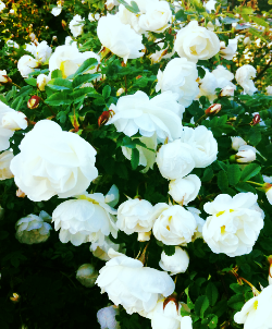 Juhannusruusut kukkivat.