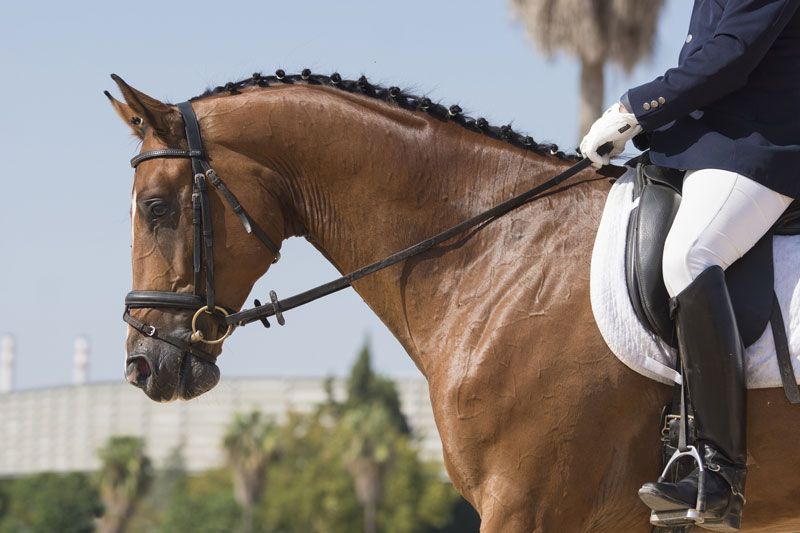 close-up-of-horse-in-competition.jpg