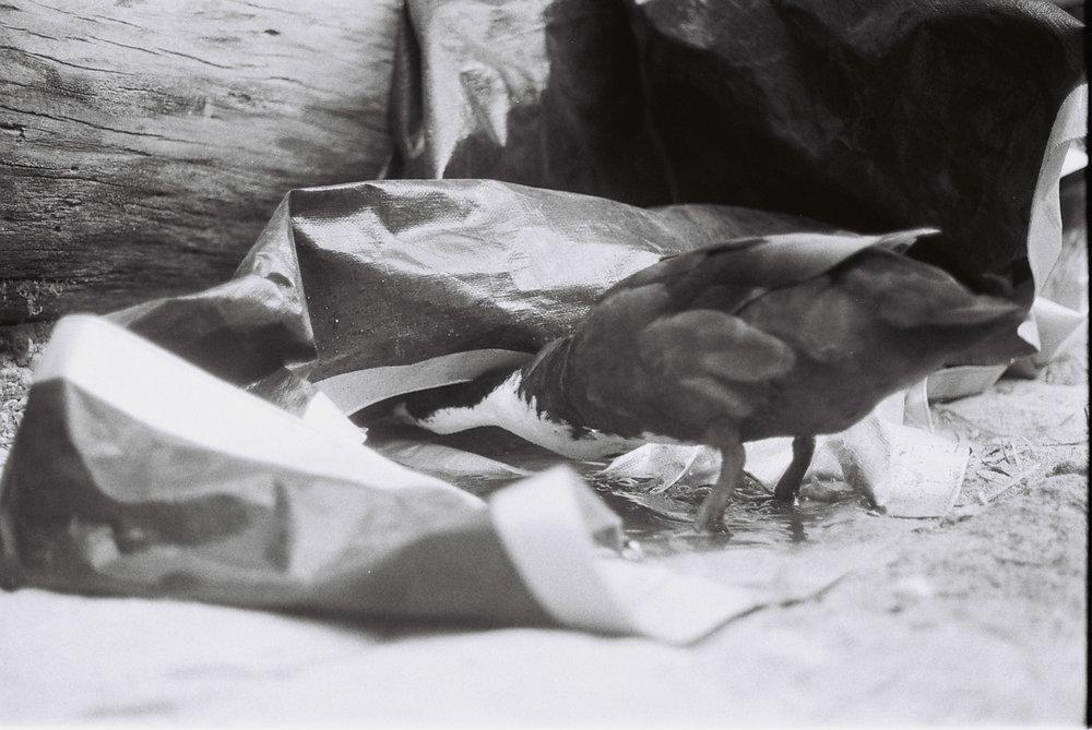 Rufus. Pet duck, or dinner?