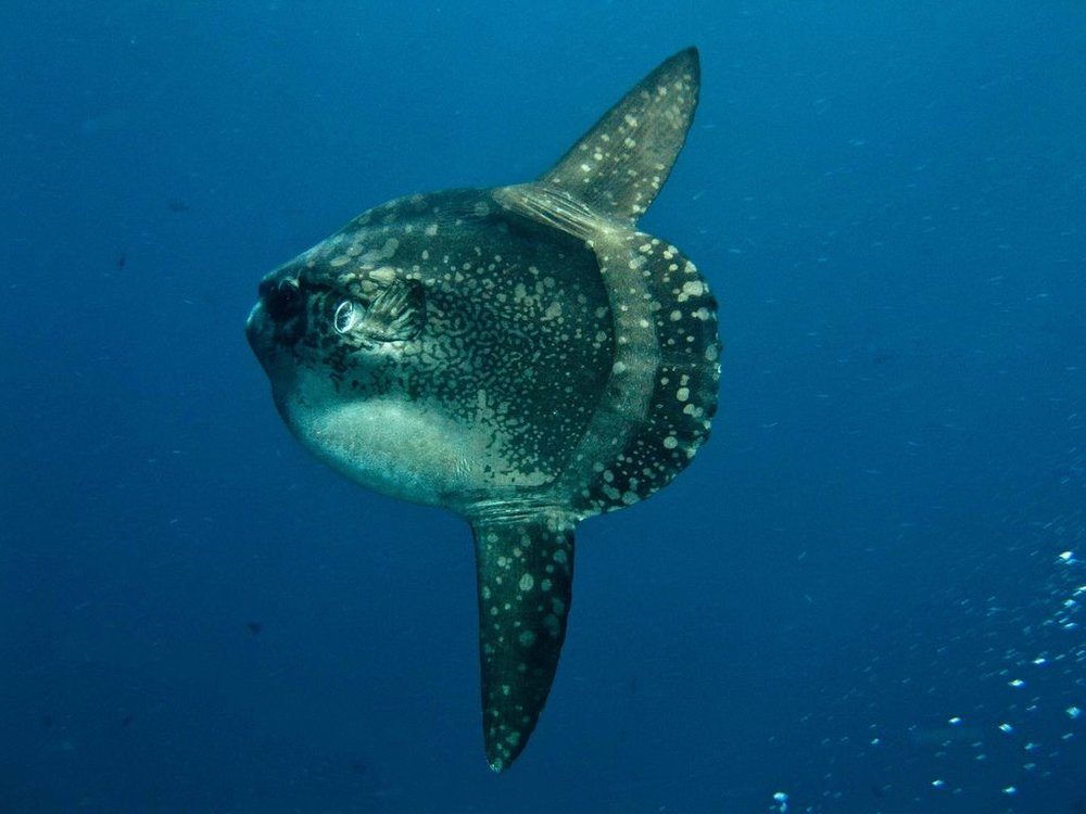 Mola Mola.jpg