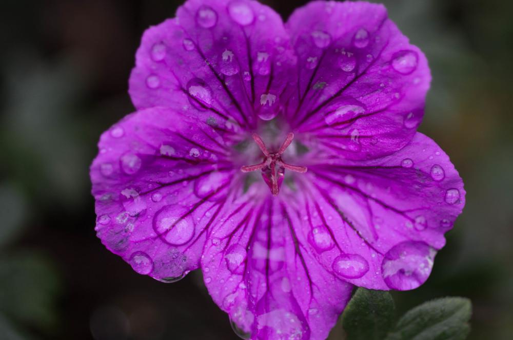 Wet Geranium