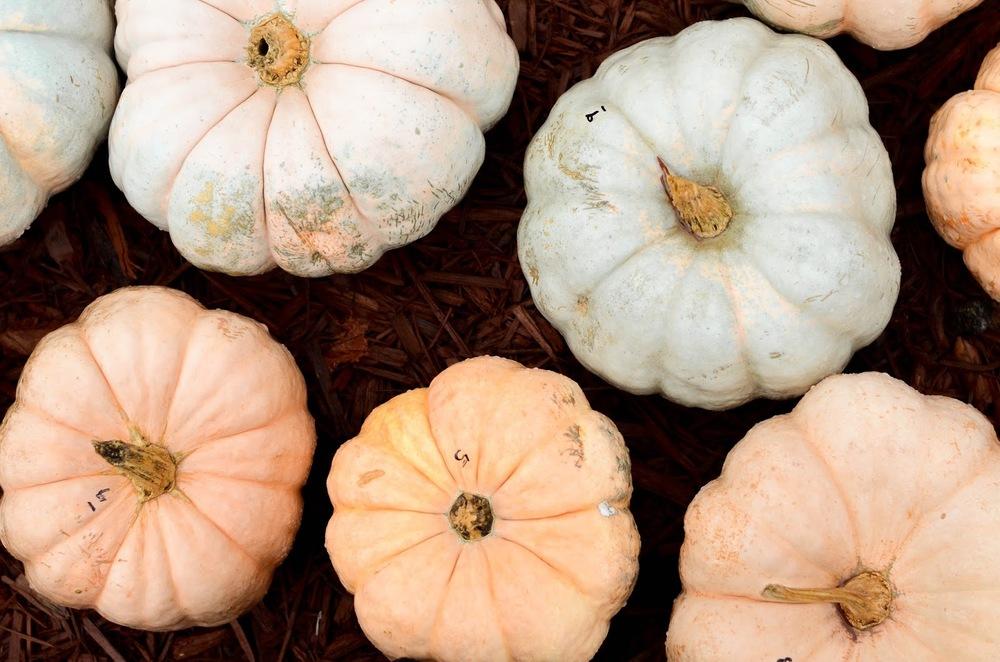 Burts%2BFarm%2C%2BGeorgia%2C%2BPumpkin%2BPatch%2B(14).jpg