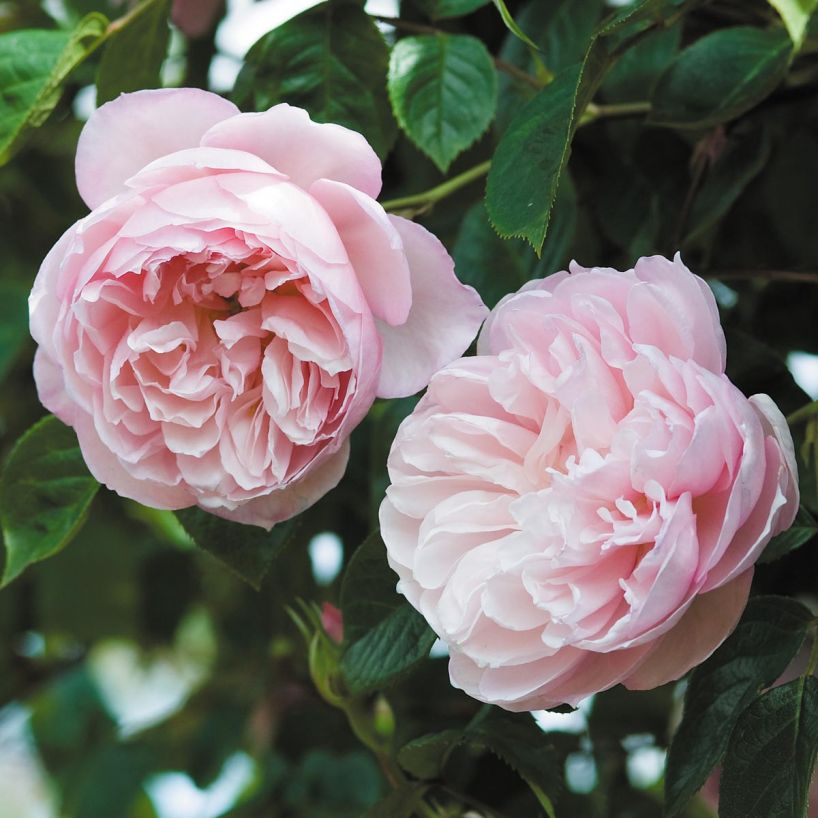 Generous Gardener Climbing Rose - Love the idea of this repeat flowering, highly fragrant climbing rose. Now to find the perfect place to have it climb!Purchase here.