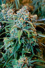 - While in its formative years, the elimination of cannabis testing could accelerate.  Employers have commented on the need for staff and can't worry about what employees are doing in their own time.  Not to mention, medical cannabis users in Massachusetts, Connecticut and Rhode Island have won lawsuits in the past year against companies that rescinded job offers or fired workers due to positive cannabis results.Read more: Christopher Rugaber, The Associated Press