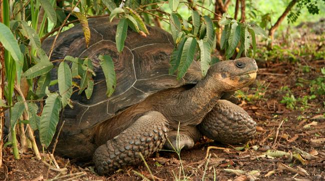 una tortuga gigante en galápagos (foto © greg shenkler)
