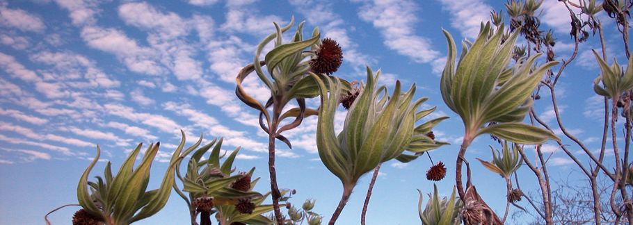 Galapagos Scalesia flowers arch gracefully towards the sky. (Photo by Christine Swanson)