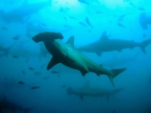 Scalloped Hammerhead Shark ©  Josser Delgado