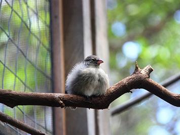 """UN Pinzón de manglar joven, """"Seriamente amenazada,""""en una pajarera de la isla isabela (foto © f. cunninghame)"""