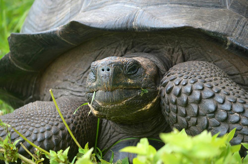 una tortuga de especies  Chelonoidis donfaustoi (cerro fatal) de la Isla Santa Cruz   (foto © wacho tapia )