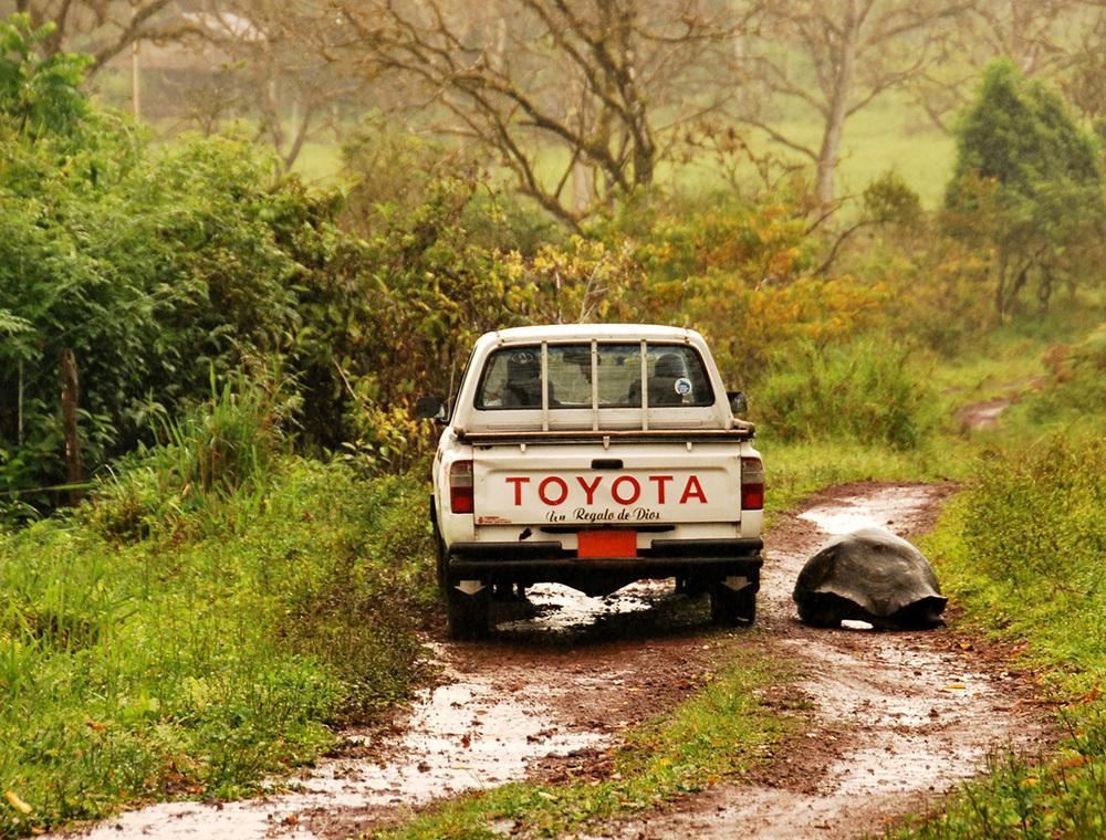 Una camioneta comparte el caminoCON UNA TORTUGA EN LA PARTE ALTA DE ISLA SANTA CRUZ(FOTO © ED SOMERS)