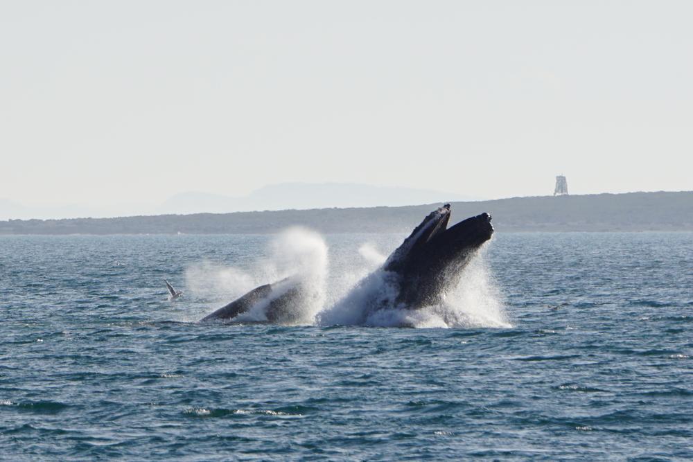 Hey, jeg elsker hvaler, og har haft to styk på besøg siden sommerferien. De har opholdt sig i varanger fjorden, og gjort sig til. vil du se flere billeder af hval? tryk på billedet