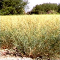 Bluebunch wheatgrass  Pseudoroegneria spicata