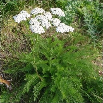 Western yarrow Achillea millefolium