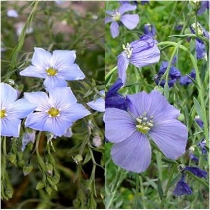 Blue flax and Lewis flax  Linum perenne  and  Linum lewisii