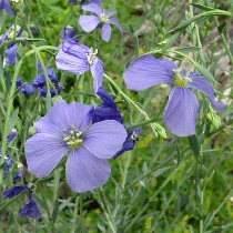 'Maple Grove' Germplasm Lewis Flax  Linum lewisii