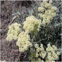 Parsnipflower buckwheat  Eriogonum heracleoides