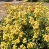Sulphur-flower buckwheat Eriogonum umbellatum